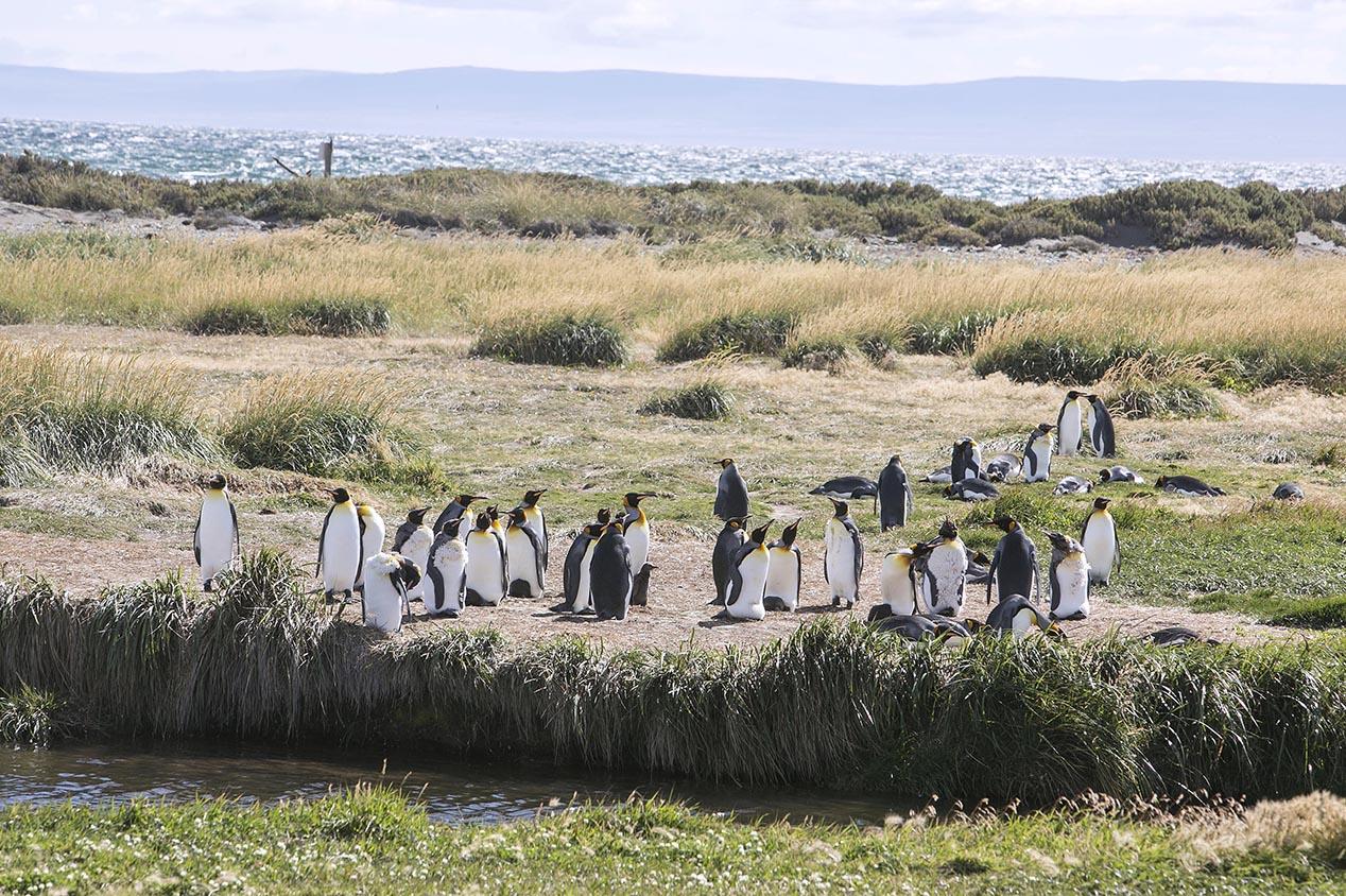 tdm80_Punta-arenas-penguin-Rey_07
