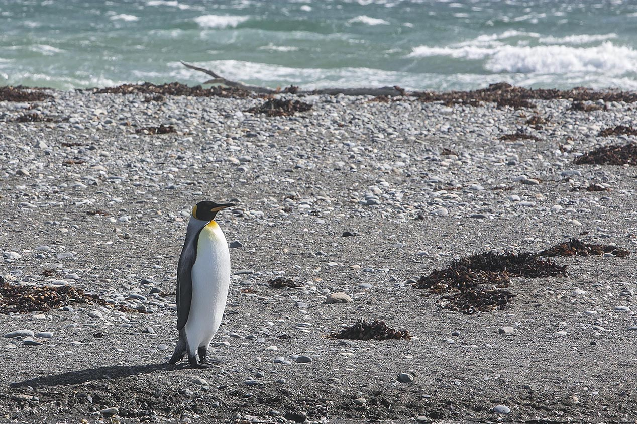 tdm80_Punta-arenas-penguin-Rey_13