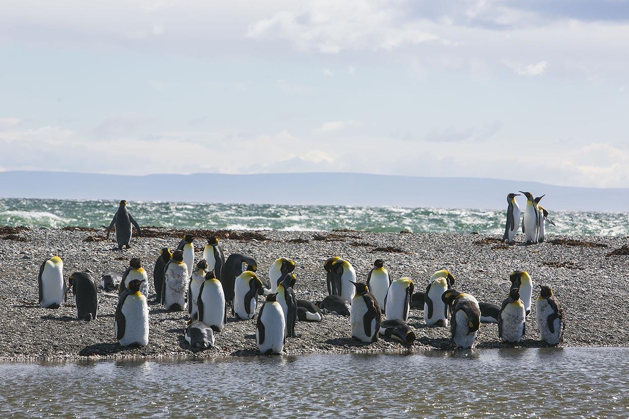 tdm80_Punta-arenas-penguin-Rey_17